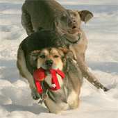 dogs running in the snow
